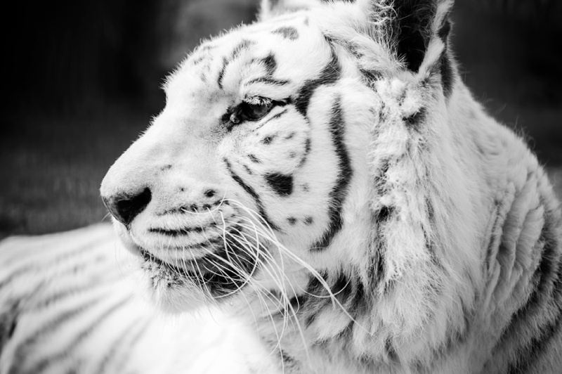 02-IOW_Zoo_klpphotography_lion_tiger_Simi_wildlife Photography-Zena